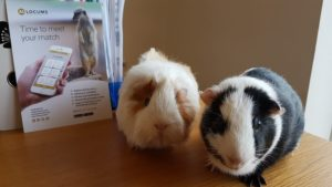 Bob and Barry, our two guinea pigs